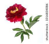 Red Peony Isolated On White...