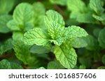 kitchen mint  marsh mint   Shutterstock . vector #1016857606