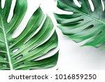 real monstera leaves set on... | Shutterstock . vector #1016859250