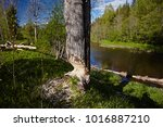 beavers building a dam in the... | Shutterstock . vector #1016887210