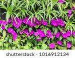 purple flowers with green... | Shutterstock . vector #1016912134