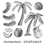 vector coconut hand drawn... | Shutterstock .eps vector #1016916613