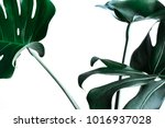 real monstera leaves decorating ... | Shutterstock . vector #1016937028