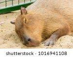 the giant brown capybara...   Shutterstock . vector #1016941108