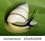Small photo of Lignus solimanus, a species of tropical land snail (Achatinidae family), terrestrial pulmonate gastropod from Africa