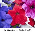 Petunia  Flowers Closeup ...