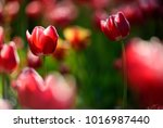 amazing nature concept of red... | Shutterstock . vector #1016987440