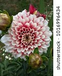 Small photo of Two-tone Dahlia red and white, flower and buds. Summer flowering tuber.