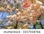 Pink Sakura Background. Details ...