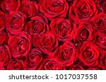 natural red roses background | Shutterstock . vector #1017037558