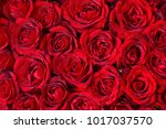 natural red roses background | Shutterstock . vector #1017037570
