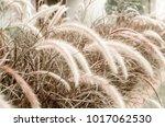 Fountain Grass Or Pennisetum...