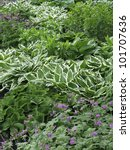 Small photo of Variety of ground cover in spring garden, with white-edged hosta the showiest