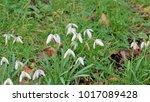 snowdrop sprinh flowers in bloom | Shutterstock . vector #1017089428