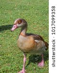 Small photo of Adult Egyptian Goose (Alopochen aegyptiacus) in park Keil, Schleswig-Holstein, Germany
