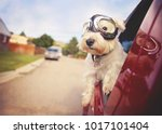 Small photo of west highland white terrier with goggles on riding in a car with the window down through an urban city neighborhood on a warm sunny summer day toned with a retro vintage instagram filter