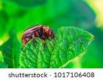colorado potato beetle eats...   Shutterstock . vector #1017106408