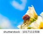 colorado potato beetle larva...   Shutterstock . vector #1017111508