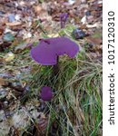 Small photo of A violet mushroom Laccaria amethystina, commonly known as the amethyst deceiver