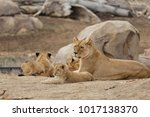 a family of lions   denver zoo... | Shutterstock . vector #1017138370