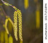 Small photo of Hanging alder catkin