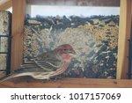 House Finch At A Bird Feeder.