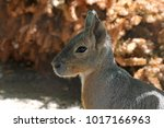 a portrait of a patagonian cavy ... | Shutterstock . vector #1017166963