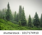 Forest In The Mist As A...