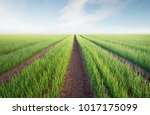 rows on the field. agricultural ...