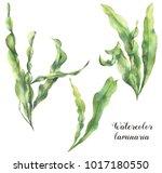 watercolor laminaria set. hand... | Shutterstock . vector #1017180550