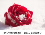 vibrant single red rose in the...   Shutterstock . vector #1017185050