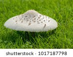 sideview of large mushroom on... | Shutterstock . vector #1017187798