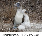 Blue Footed Booby With His Bab...