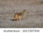 Small photo of A coyote moving across the wilderness in an eraly morning search for food.