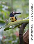 the collared aracari or... | Shutterstock . vector #1017220060