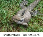 detailed view of a large lizard ... | Shutterstock . vector #1017253876
