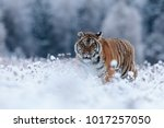 ery dangerous siberian tigerin... | Shutterstock . vector #1017257050