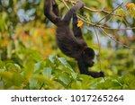 Small photo of Guatemalan Black Howler (Alouatta pigra), Community Baboon Sanctuary, Bermudian Landing, Belize