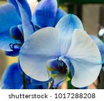 the royal blue phal orchid... | Shutterstock . vector #1017288208
