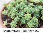 succulent in the garden home   Shutterstock . vector #1017294559