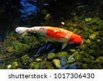 "a big ""japanese kohaku"" koi... | Shutterstock . vector #1017306430"