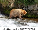 large male grizzly bear eating... | Shutterstock . vector #1017324724