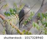 Small photo of The shikra (Accipiter badius)
