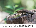 the scientific name is skink... | Shutterstock . vector #1017343324