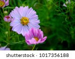 Pink cosmos flowers on nature...