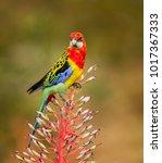 eastern rosella  platycerus... | Shutterstock . vector #1017367333