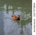 Small photo of Rainbow Hued Plumage on a Mandarin Duck Swimming in a Rippling Pond