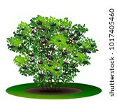 bush aronia with green leaves...   Shutterstock .eps vector #1017405460