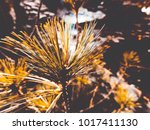 a branch of pine on a tree   Shutterstock . vector #1017411130