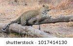 Leopard Resting On A Fallen...